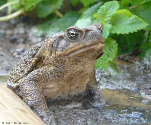 Not the same frog - This is a toad that lives here year-round