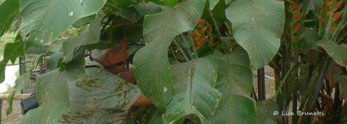 P1610479 john mcdonald y heliconias portoviejo gardens