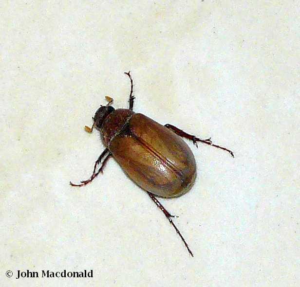 closeup. Scarab Beetle Swarm   Living It Up in Ecuador