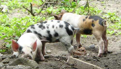 Piglets 4