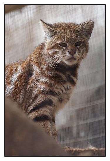 pampas cat 2