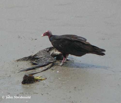 Vulture eating
