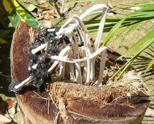 Wilted Mushroom