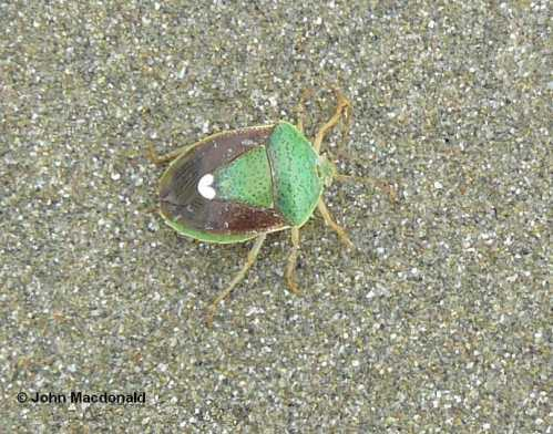 Beetle on beach