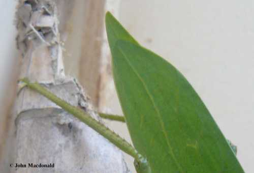 Leaf or wing