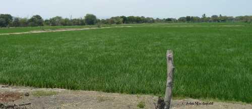 Fields of Rice 2