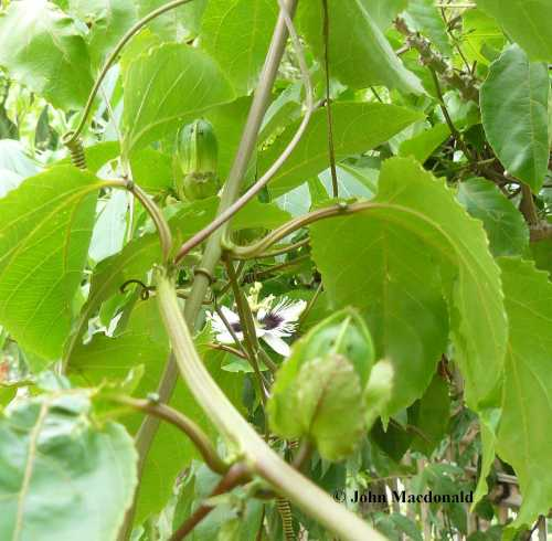 Maracuya buds