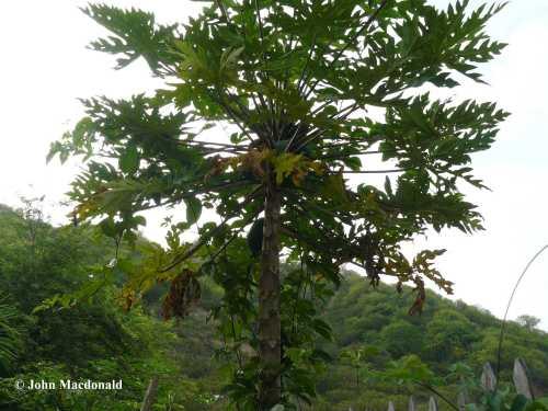 papaya and maracuya