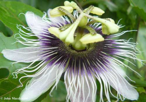 Maracuya flowers 2