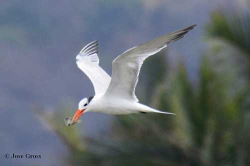 Royal Tern 1