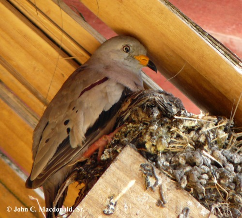 Croaking ground dove nest 1