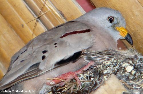 Croaking ground dove nest 2