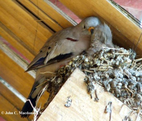 Croaking ground dove nest 4