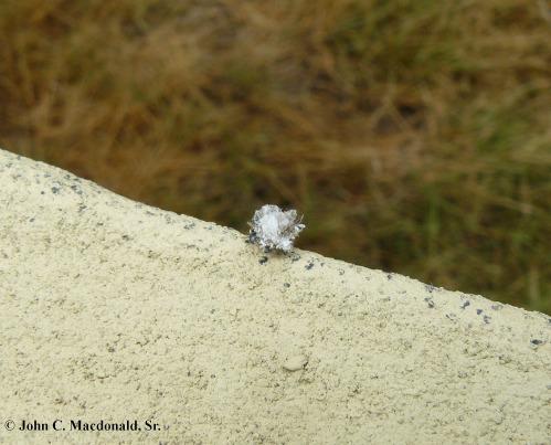 Lichen Beetle 1