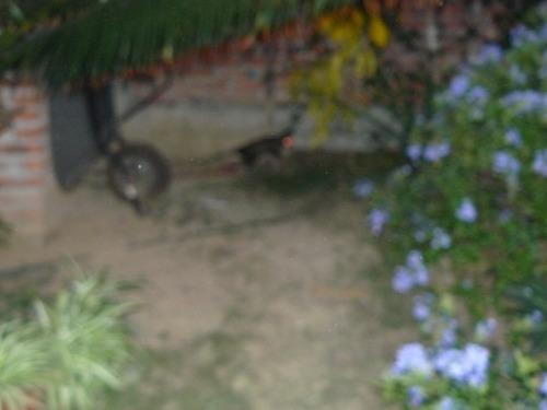 )possum