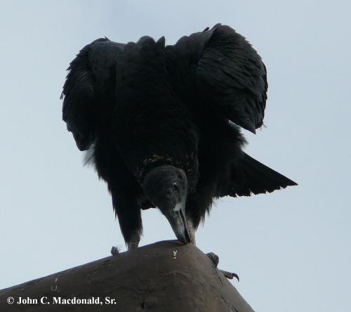Black Vultue 6