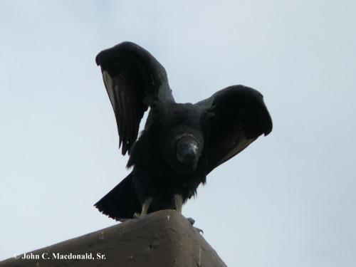 Black Vulture 5