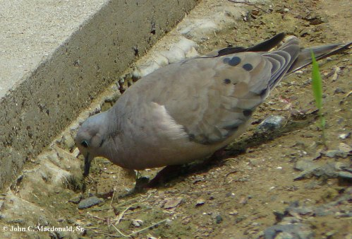 Ground doves 2
