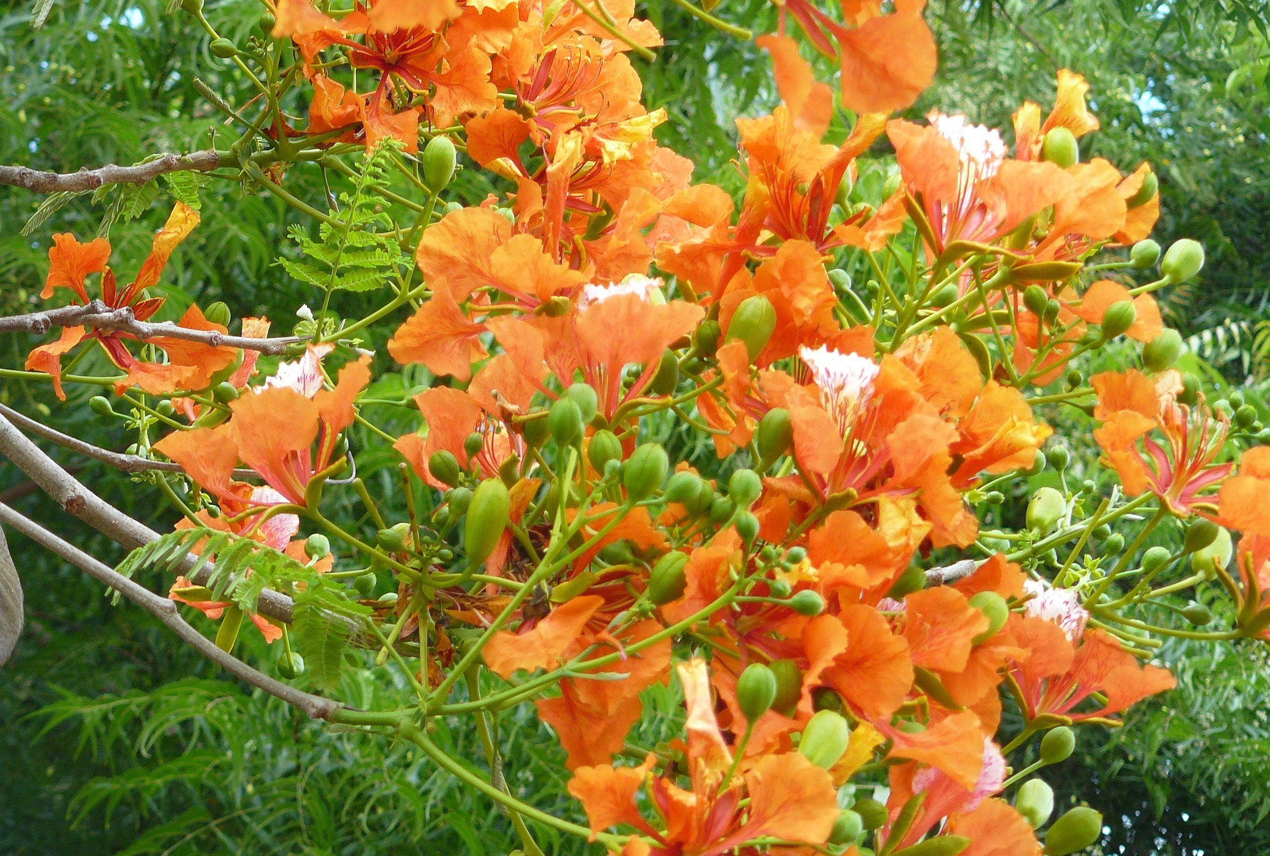 Ecuadorian Acacia Tree Flowers Living It Up In Ecuador