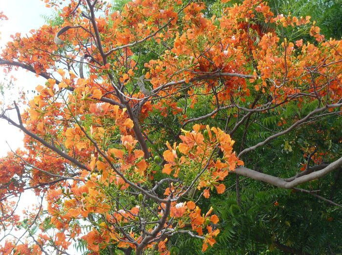 Ecuadorian Acacia Tree Flowers | Living It Up in Ecuador