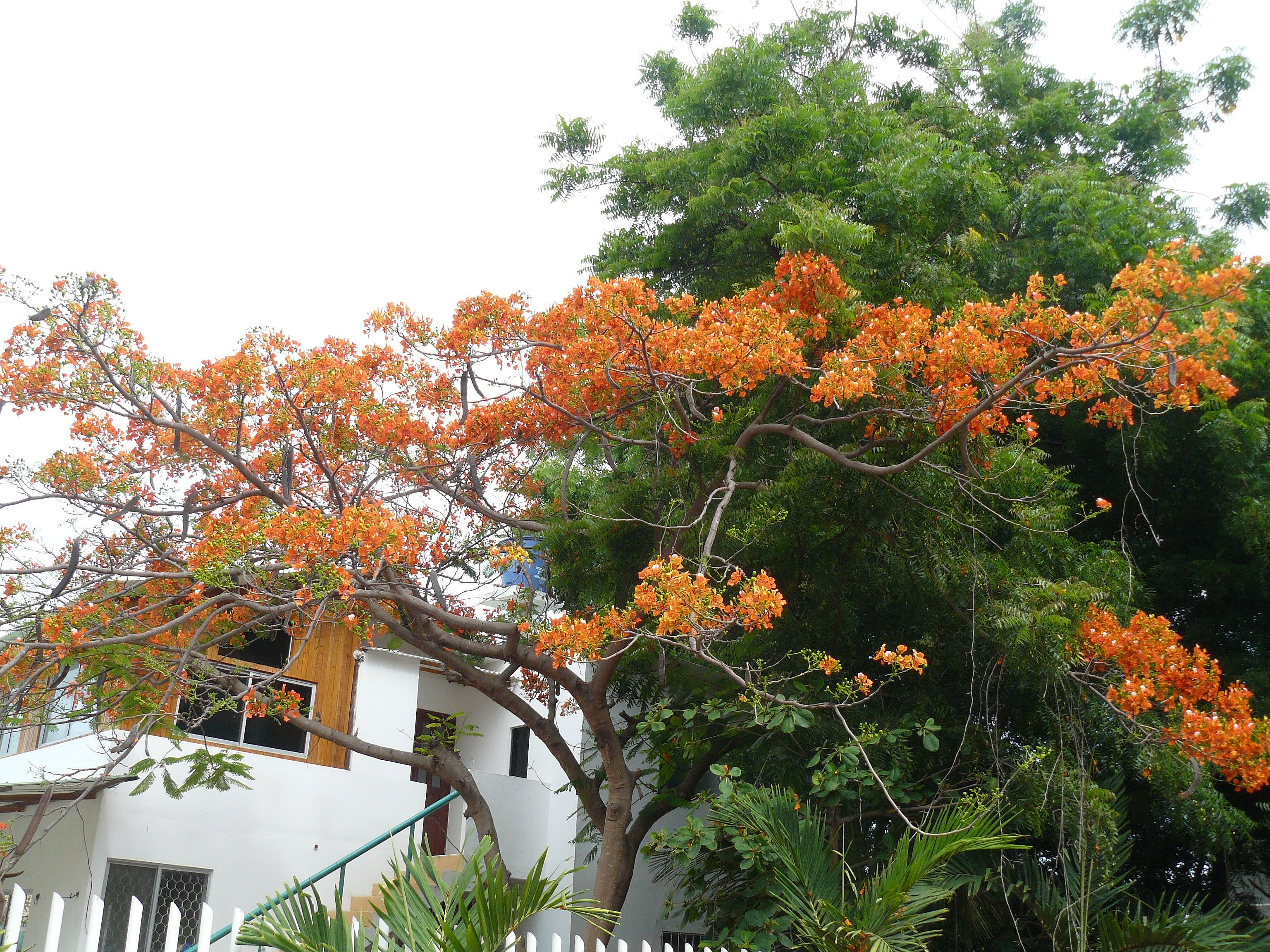 Ecuadorian Acacia Tree Flowers Living It Up In Ecuador